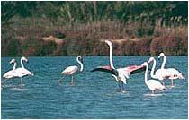 Испания, Торревьеха, Фламинго